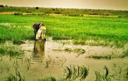 WALO : des milliers d'hectares de riz séquestrés par les eaux …